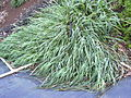 Starr 040110-0003 Eragrostis variabilis.jpg