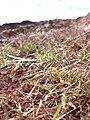 Starr 040120-0066 Heteropogon contortus.jpg