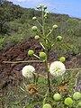 Starr 040513-0025 Leucaena leucocephala.jpg