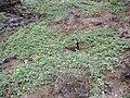 Starr 060228-8869 Tribulus cistoides.jpg