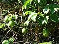 Starr 061128-1636 Passiflora edulis.jpg