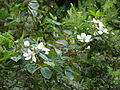 Starr 061205-1879 Rubus argutus.jpg