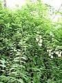 Starr 070308-5502 Philadelphus karwinskianus.jpg
