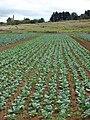 Starr 070618-7335 Brassica oleracea var. capitata.jpg
