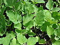 Starr 070906-8920 Solanum melongena.jpg
