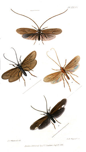 James Francis Stephens - Illustration of Trichoptera from Stephen's British Entomology