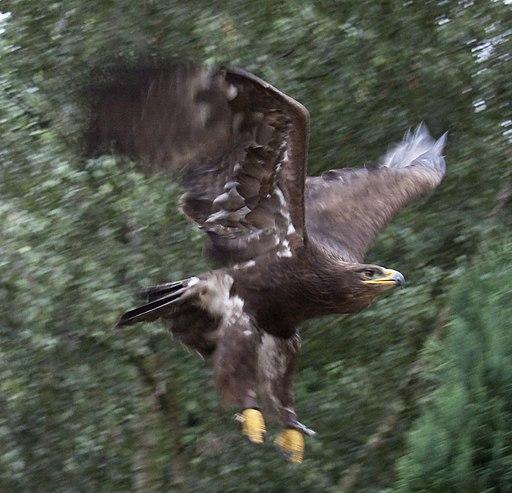 Steppe Eagle 5 (3862268549)