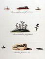 Stereocaulon condyloideum — Flora Batava — Volume v11.jpg