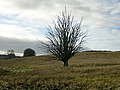 Strange Looking Tree - geograph.org.uk - 284377.jpg