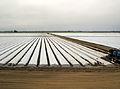 Strawberry field with plastic.jpg