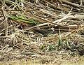 Streaked Flycatcher Myiodynastes maculatus (29426465658).jpg