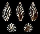 Strigatella paupercula 01.JPG