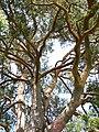 Strom roka borovica velke borove 04.jpg
