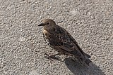 Sturnus vulgaris (Common Starling) - 20150801 17h08 (10636).jpg