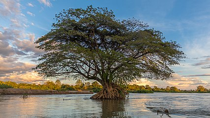 Submerged Albizia Saman in the Mekong at sunset (close-up view).jpg