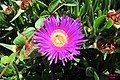 Succulent (Vol) (35762520471).jpg