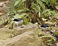 Sunda Forktail female and juvenile.jpg