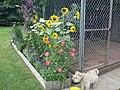 Sunflowers (222342991).jpg