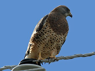 Swainson's hawk - Male in California, USA