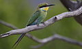 Swallow-tailed bee-eater, Merops hirundineus, at Marakele National Park, Limpopo, South Africa (23899372240).jpg
