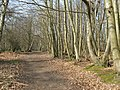 Sweet Chestnuts beside bridleway - geograph.org.uk - 1209728.jpg