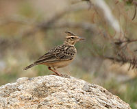 Sykes's Lark (Galerida deva) in Hyderabad, AP W IMG 8063