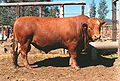 Symons-cattle.jpg