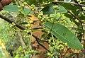 Syzygium caryophyllatum 39.JPG
