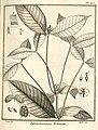 Tabernaemontana echinata Aublet 1775 pl 103.jpg