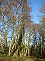 Tall beeches - geograph.org.uk - 653412.jpg