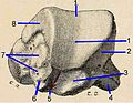 Talus, posterior face Testut.ro1.jpg