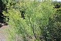 Tamarix africana 1.jpg