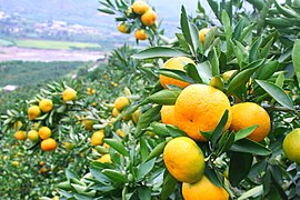 Tangerine in Huaning County.jpg