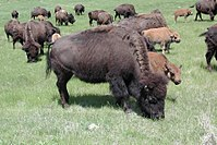 American bison grazing in Custer State Park in South Dakota.