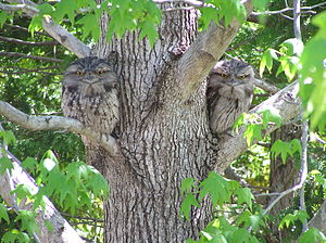 Tawny Frogmouth (Coverdale).jpg