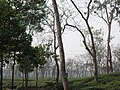 Tea gardens Srimangal Sreemangal Upazila Moulvibazar Maulvibazar Moulavibazar Sylhet 12.jpg
