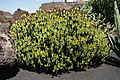 Teguise Guatiza - Jardin - Euphorbia cooperi 03 ies.jpg