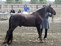 Tennessee Walking Horse2.jpg