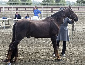 Cheval Tennessee Walker au modèle