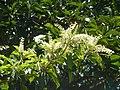 Terminalia phanerophlebia, bloeiwyses, Manie van der Schijff BT, j.jpg