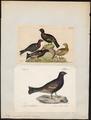 Tetrao hybridus - 1700-1880 - Print - Iconographia Zoologica - Special Collections University of Amsterdam - UBA01 IZ17100331.tif