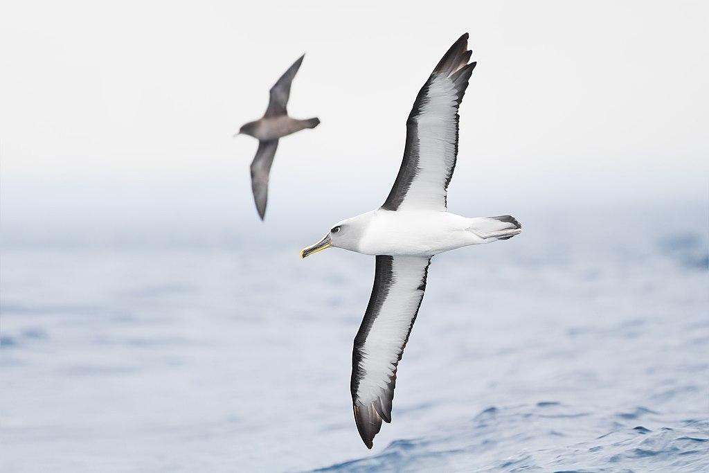 Thalassarche bulleri in flight 1 - SE Tasmania.jpg