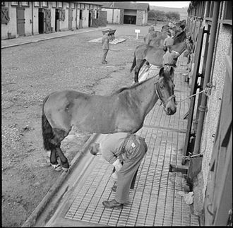 Royal Army Veterinary Corps - Convalescent horses at the RAVC hospital at Tidworth Camp, Wiltshire, in the Second World War