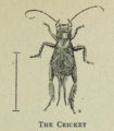 The Cricket by Winifred M. A. Brooke.png