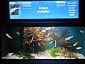 The Evileye pufferfish exhibit in Two Oceans Aquarium, Cape Town, South Africa.jpg