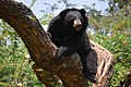 The Himalayan black bear (Ursus thibetanus) is a rare subspecies of the Asiatic black bear. 06.jpg