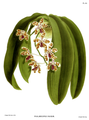 The Orchid Album-02-0099-0080-Phalaenopsis mariae.png