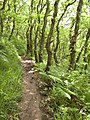 The coast path, Sloo Wood - geograph.org.uk - 1430964.jpg