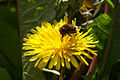 The hoverfly Eristalis intricarius - geograph.org.uk - 718175.jpg