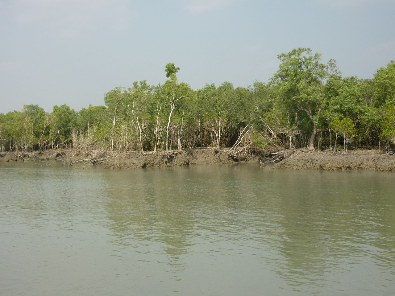 The mangrove forest is damaged by rising sea level, Sundarbans, 12-2009 - panoramio.jpg